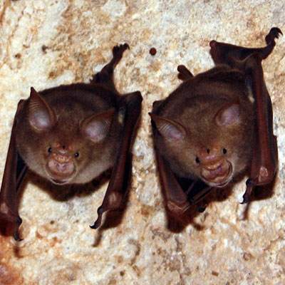 Trident Leaf- nosed Bat