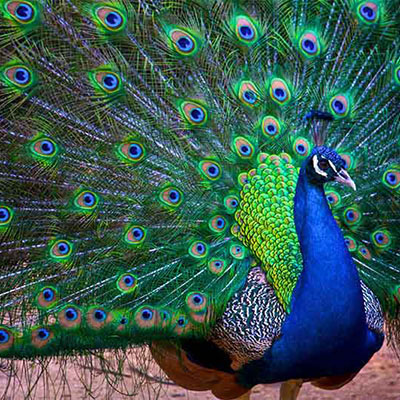 Peafowl, Indian (Peacock)