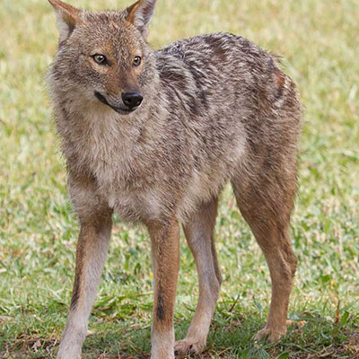 Golden Jackal, Asiatic Jackal