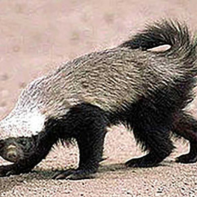 Honey Badger, Ratel