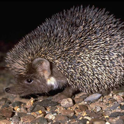 Ethiopian Hedgehog, Desert Hedgehog
