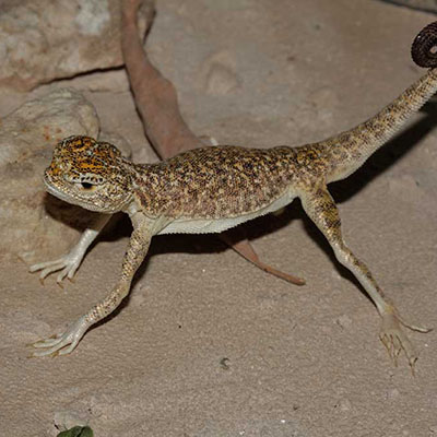 Arabian Toad-head Agama