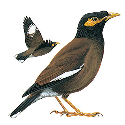 Mynah, Common