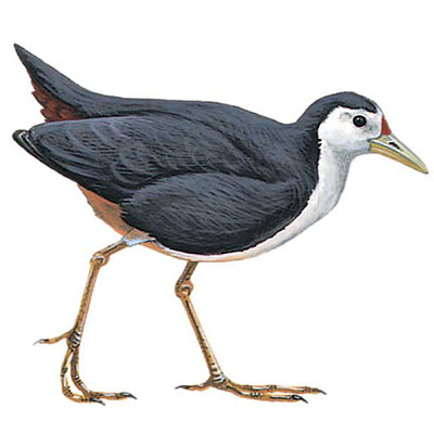 Waterhen, White-breasted