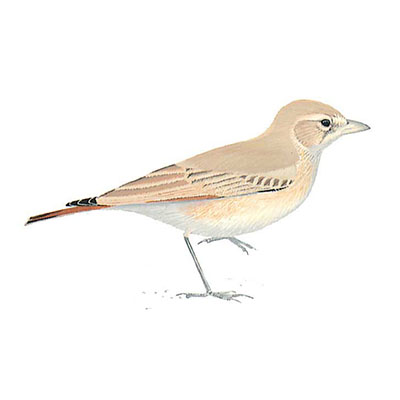 Lark, Bar-tailed