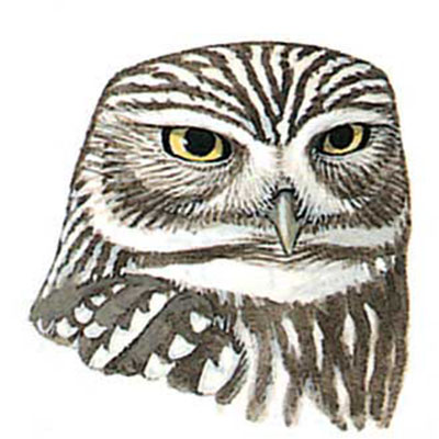 Owl, Little