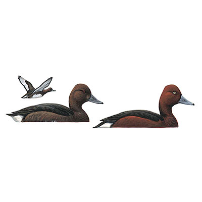 Duck, Ferruginous