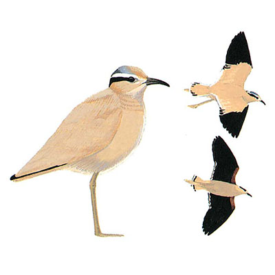 Courser, Cream-coloured