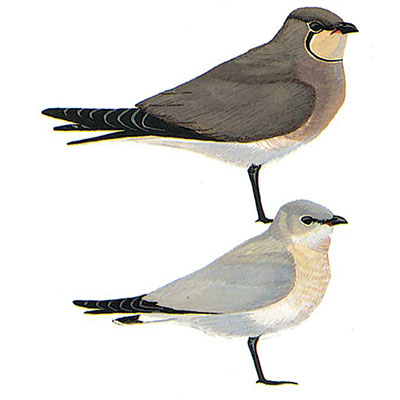 Pratincole, Black-winged