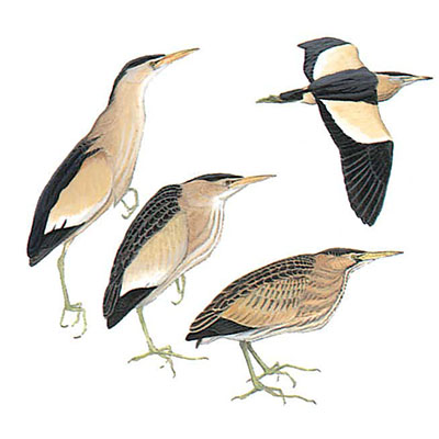 Bittern, Little