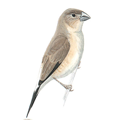 Silverbill, Indian