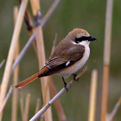 Shrike, Turkestan
