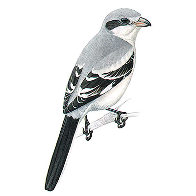 Shrike, Steppe Grey