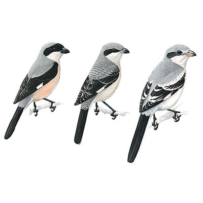 Shrike, Lesser Grey