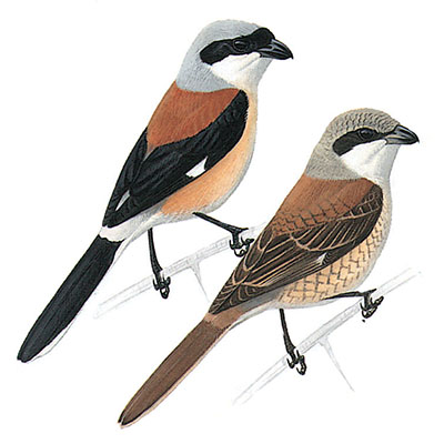 Shrike, Bay-backed