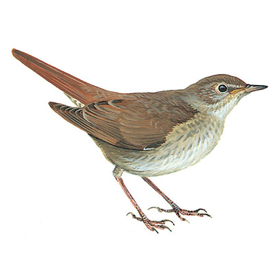 Nightingale, Thrush