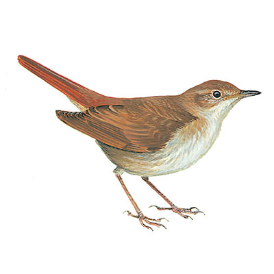 Nightingale, Common