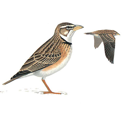 Lark, Bimaculated