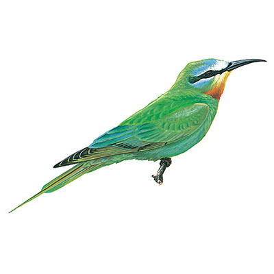 Bee-eater, Blue-cheeked