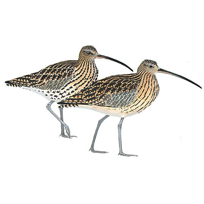 Curlew, Eurasian