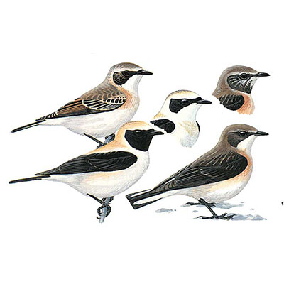 Wheatear, Eastern Black-eared