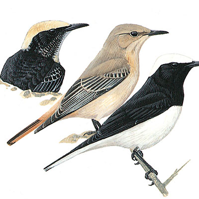 Wheatear, Hooded