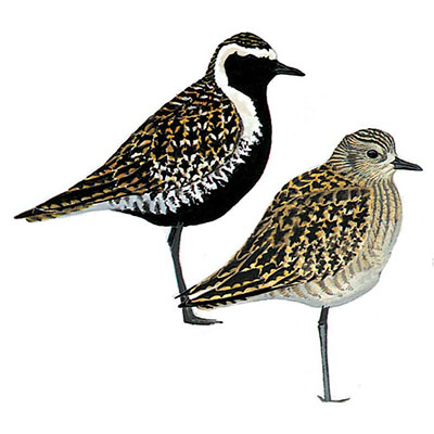 Plover, Pacific Golden