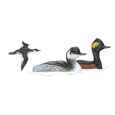 Grebe, Black-necked