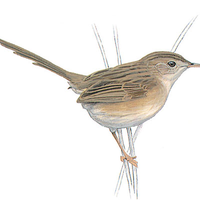 Prinia, Graceful
