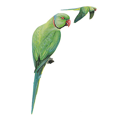Parakeet, Rose-ringed