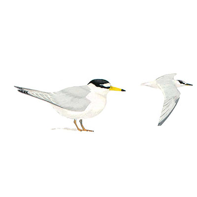 Tern, Little