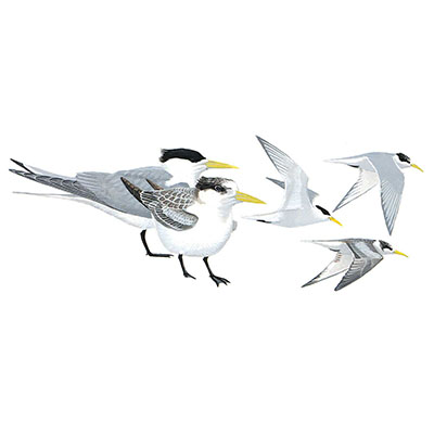 Tern, Swift