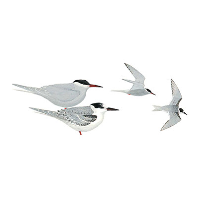 Tern, White-cheeked