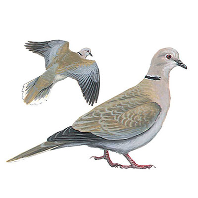 Dove, Eurasian Collared