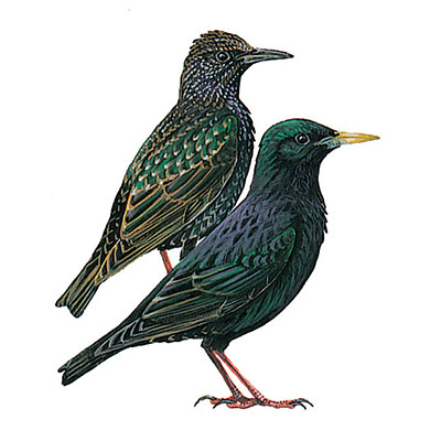 Starling, Common