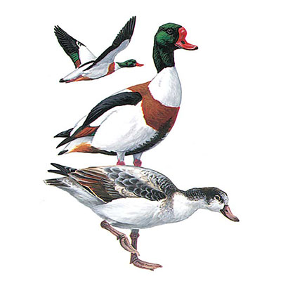 Shelduck, Common