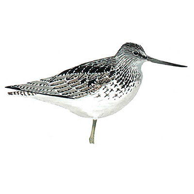 Greenshank, Common