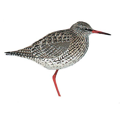 Redshank, Common