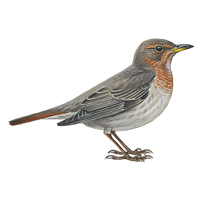 Thrush, Red-throated