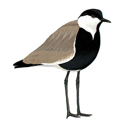 Lapwing, Spur-winged