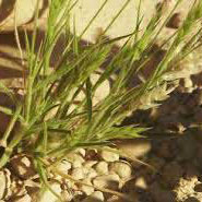 Needlegrass