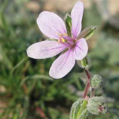 Cut-leaved Crane's-bill