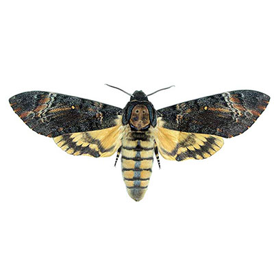 Death's-head Hawk-moth