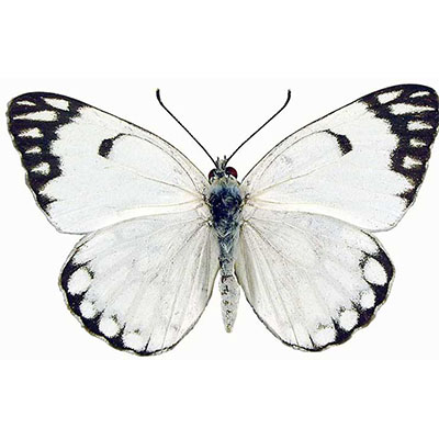 Pioneer White or  Brown-veined White