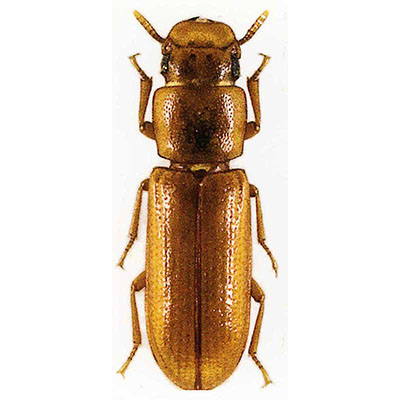 Longheaded Flour Beetle