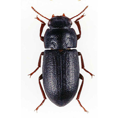 Penthicus Beetle