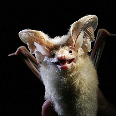 Hemprich's Long-eared Bat