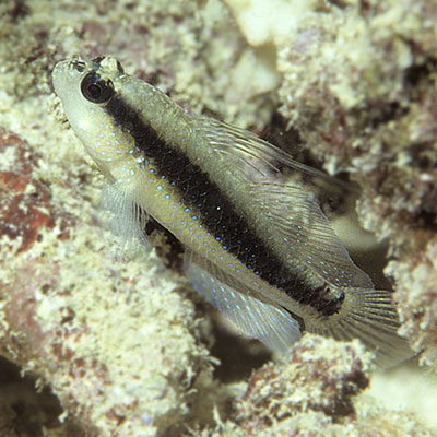 Halfspotted Goby