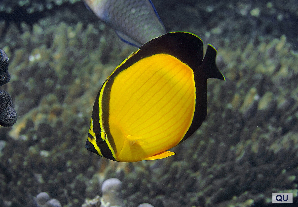 Blackfin Butterflyfish