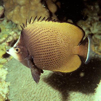 Dark Butterflyfish